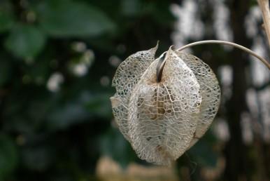 הגביע הפורה נפוח, בעל 5 צלעות חדות הנמשכות בבסיסן אל 5 שיניים מחודדות שאורכן כרבע מאורך הגביע.