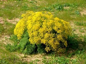 עשבים רב-שנתיים מסועפים; צואר השורש סיבי. העלים גזורים-מנוצים (3-)6-4 פעמים לאונות נימיות.