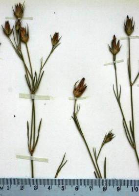 ציפורן החודים Dianthus cyri Fisch. & C.A.Mey.