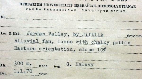 חמד איג Haloxylon eigii (Iljin) Danin & Heller