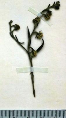 שניין קטן Heterocaryum subsessile Vatke