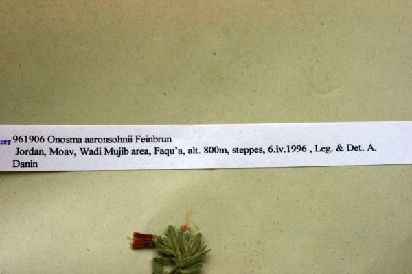 סומקן אהרונסון Onosma aaronsohnii Feinbrun