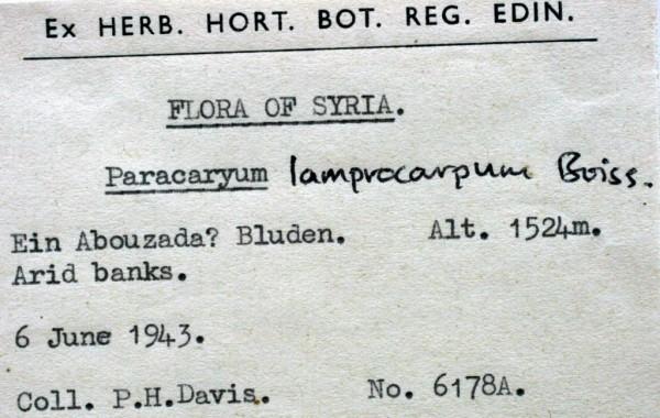 הילל מבריק Paracaryum lamprocarpum Boiss.