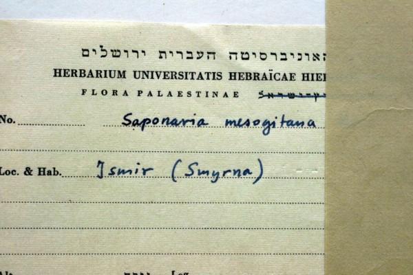 בורית אדומה Saponaria mesogitana Boiss.