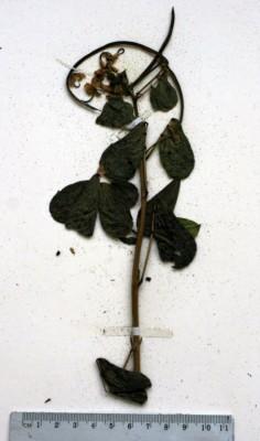 סנא קהה Senna obtusifolia (L.) Irwin & Barneby