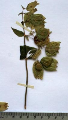 ציפורנית מצויצת Silene physalodes Boiss.