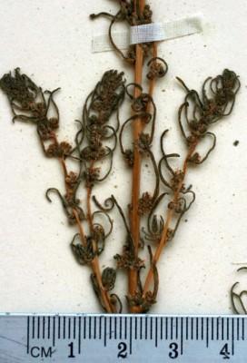 אוכם הגינות Suaeda hortensis Forssk. ex J.F.Gmel.