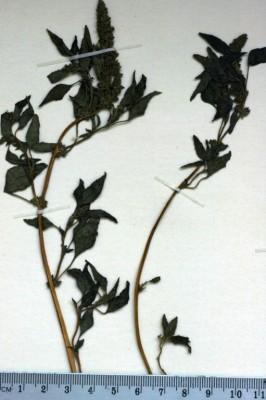 ירבוז נטוי Amaranthus deflexus L.