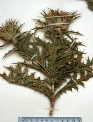 Carduncellus eriocephalus Boiss.