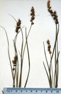 כריך החולה Carex pairae F.W. Schultz
