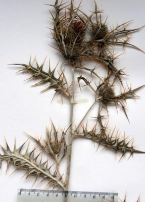 קוצן חרמוני Cirsium lappaceum (M.Bieb.) Fisch.