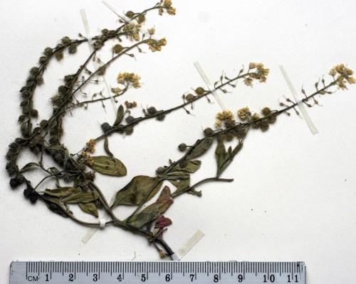 תריסנית מחודדת Clypeola lappacea Boiss.