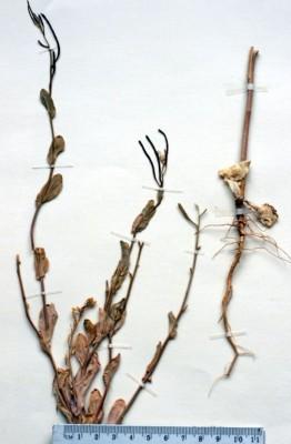 ארכן מזרחי Conringia orientalis (L.) Dumort.