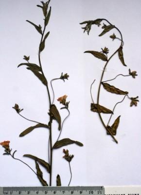 Convolvulus pilosellifolius Desr.