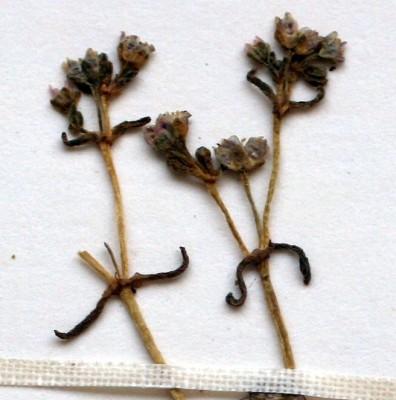 Crassula vaillantii (Willd.) Roth