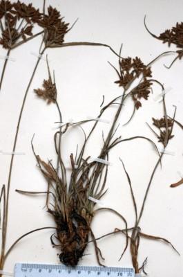 גומא אזמלני Cyperus nitidus Lam.