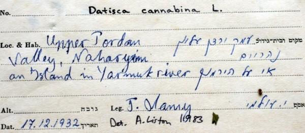 דטיסקה קנבית Datisca cannabina L.