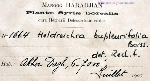הלדריכיה צרת-עלים Heldreichia bupleurifolia Boiss.