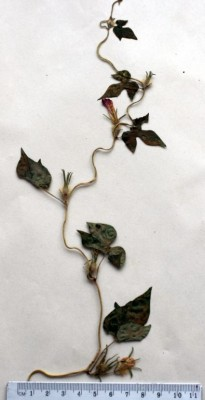 לפופית הקיסוס Ipomoea hederacea Jacq.