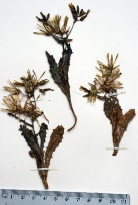 חסה גלונית Lactuca undulata Ledeb.