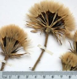 עשב רב-שנתי של החרמון, העלים ערוכים בשושנת. הציצית עשויה 35-30 זיפים מנוצים.