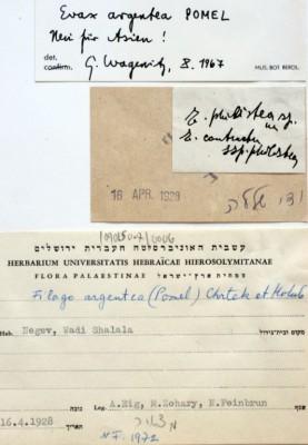 פילגון מכסיף Filago argentea (Pomel) Chrtek & Holub