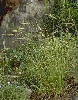 Andropogon distachyos L.