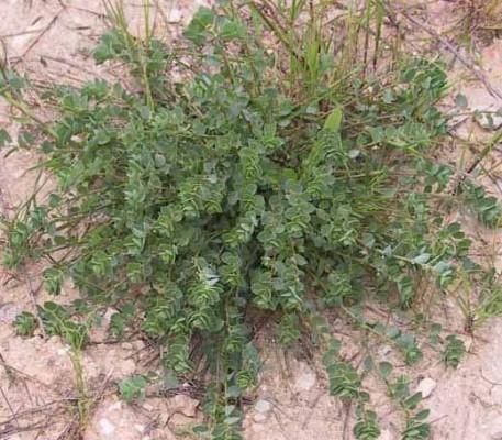 שלוחית קירחת Andrachne telephioides L.