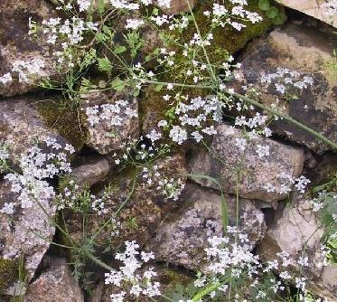 סייגית מבריקה Anthriscus lamprocarpus Boiss.