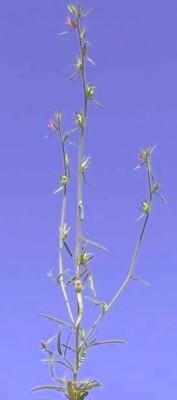 לועית קטנה Misopates orontium ׂ(L.) Rafin.