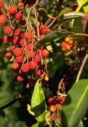 הפרי דמוי ענבה, אדום, אכיל בהיותו רך.