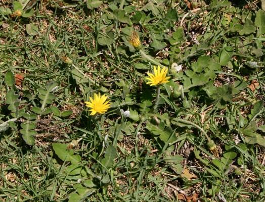 Arctotheca calendula (L.)Levins