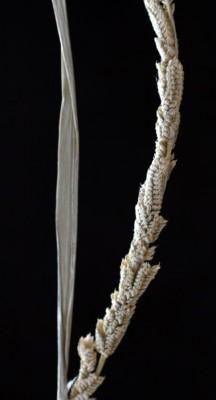 בקמניה דו-טורית Beckmannia eruciformis (L.) Host