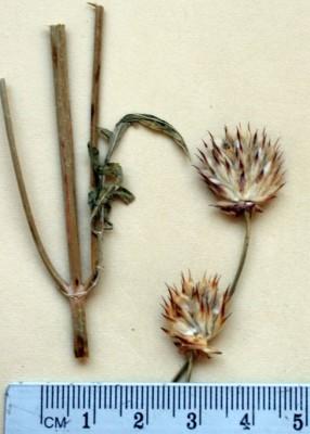 שלמון זיפני Cephalaria setosa Boiss. & Hohen.