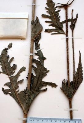 קרד שסוע Dipsacus laciniatus L.