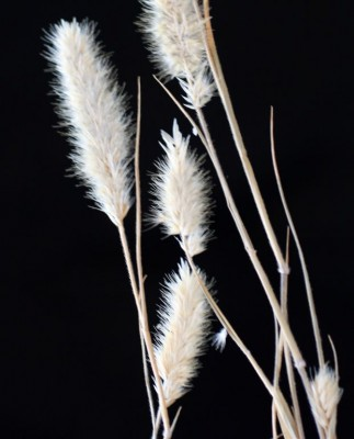 ציצן קצר Enneapogon desvauxii P.Beauv.