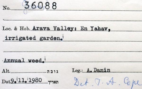 בן-חילף דמוי-דוחנית Eragrostis echinochloidea Stapf