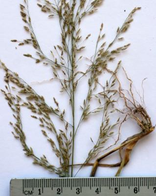 Eragrostis virescens J. Presl