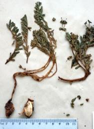 צמחים בעלי פקעת-שורש, הגדלים במדרונות חצציים, בין אבנים בחרמון.