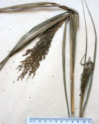 דוחן הערבה Panicum antidotale Retz.