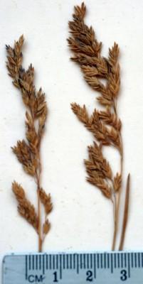 סיסנית האחו Poa pratensis L.