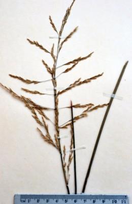 בן-בצת מרוחק Puccinellia distans (L.) Parl.