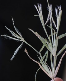 עשב חד-שנתי עדין, התפרחת מאוצבעת, מורכבת ממספר שיבולים הקבועות בראש הקנה. נבדל מיבלית במימדיו הקטנים ובמלענים ניכרים.