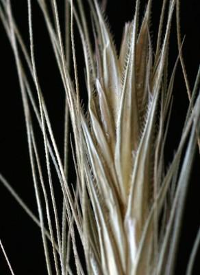 שיפון תרבותי Secale cereale L.