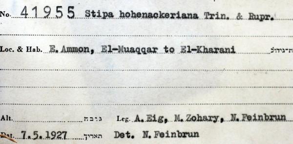 מלעניאל המזרח Stipa hohenackeriana Trin. & Rupr.