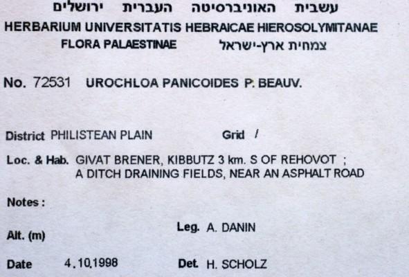 נסמנית הדוחן Urochloa panicoides P.Beauv.