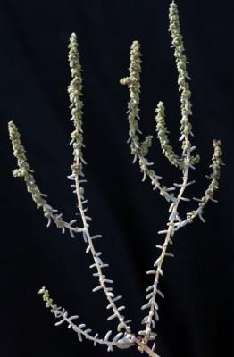אוכם שיחני Suaeda fruticosa Forssk. ex J.F.Gmel.