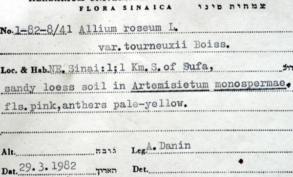 שום ורוד Allium roseum L.