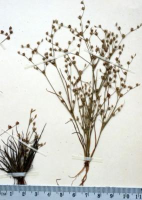 סמר ענף Juncus sphaerocarpus Nees