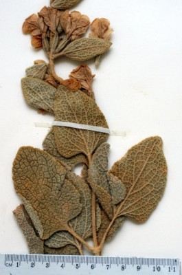 Phlomis kurdica Rech.f.